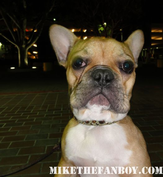 the cutest french bulldog ever adorable sweet pack dog stinky poots