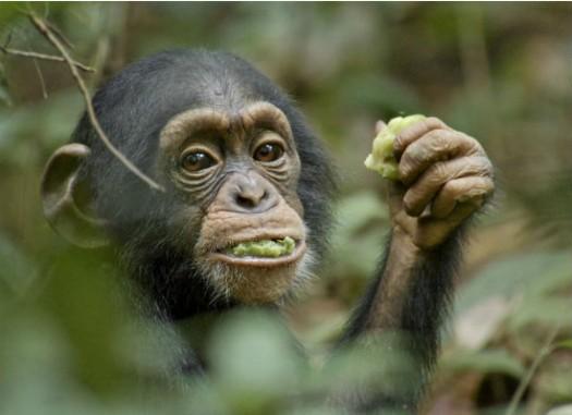 disneynature's newest film chimpanzee promo one sheet movie poster promo oscar the chimp rare promo hot walt disney nature