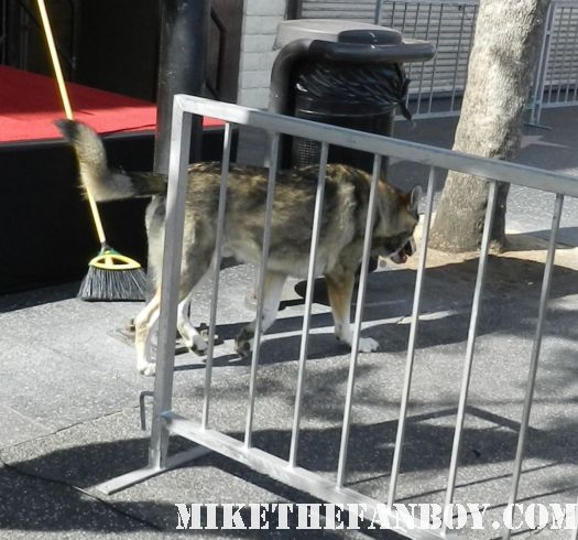 A wolf running down Hollywood blvd setting up the stage for john cusack walk of fame star ceremony on hollywood blvd rare promo stage red carpet