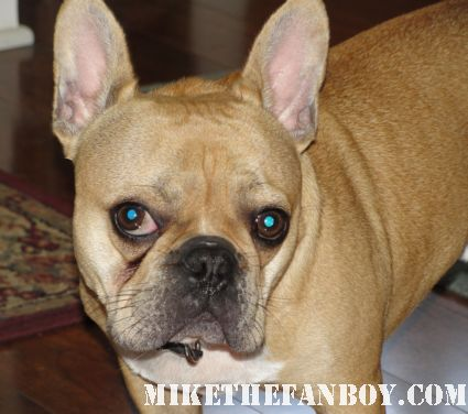 Theo the cutest french bulldog in the world mini french bulldog brown color rare adorable french bulldog Theo