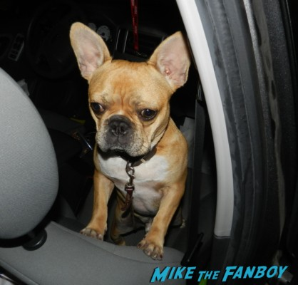 Theo the cutest french bulldog ever looking at me like I'm crazy brown french bulldog rare