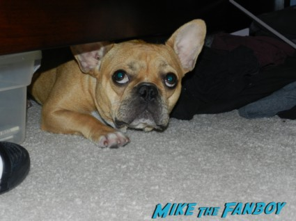 the cutest french bulldog ever theo rare brown haired frenchie french bulldog rare adorable cute
