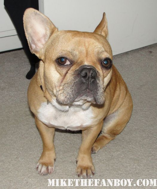 best french bulldog in the world THEO the awesome brown hair soft short hair french bulldog looking pissed off