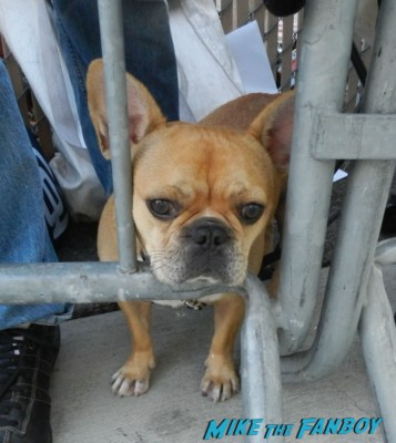 theo the adorable french bulldog sitting behind the barricade waiting for Matthew Fox and Emily Vancamp to sign autographs