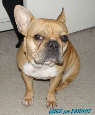 angry french bulldog theo from mike the fanboy adorable french bulldog brown soft best dog ever