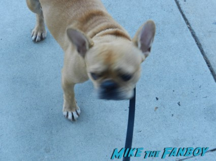 Theo the adorable brown french bulldog looking cuter than ever rare soft brown frenchie