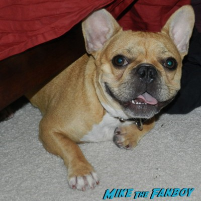 Theo the cutest french bulldog in the world hiding under my bed and looking adorable...