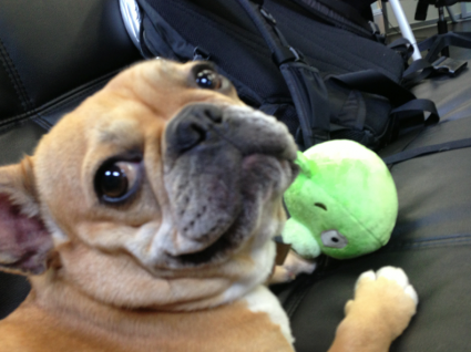 Theo the cutest french bulldog in the world playing with his toy