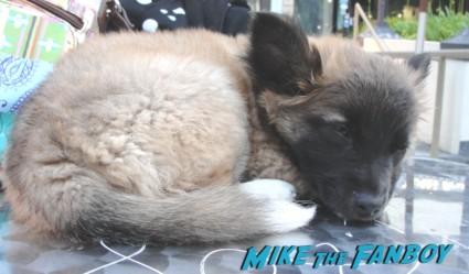 Pinky's dog sammy rhodes resting on a tabletop