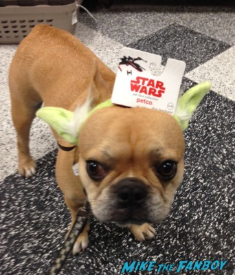 Theo the cutest french bulldog ever fanboy yoda