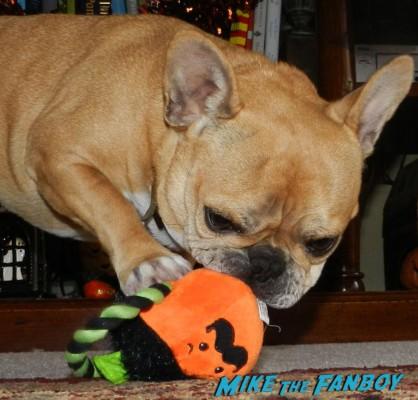 Theo the cutest french bulldog ever fanboy yoda