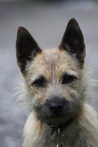 """""""Bouton"""" - Scamp the terrier"""