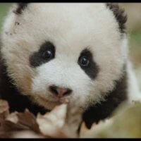 Disneynature's born in china blu-ray review 1